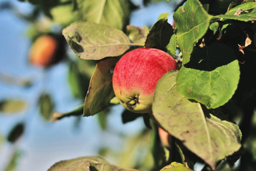 Parduodamos obuolių sultys